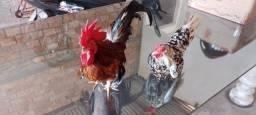 Título do anúncio: Vende-se esse casal, galo e galinha zezinha