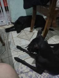 Adoção dois cachorros