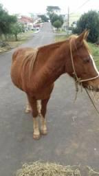 Cavalo picuira