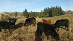 Vacas e terneiros para venda