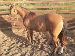 Cavalo crioulo - potro - resenhado - barbada