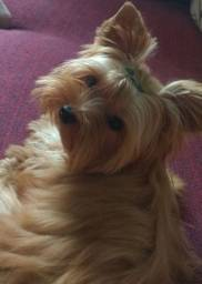 Filhote yorkshire terrier micro caramelo