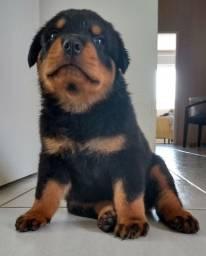 Filhote de Rottweiler com Pedigree Último disponível