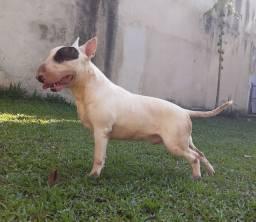 Bull Terrier macho Padreador top