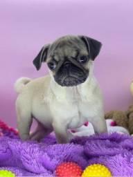 Título do anúncio: Lindos Pugs - Canil Filhotes da Serra