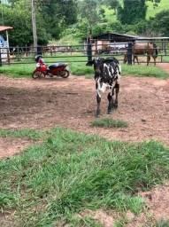 Bezerro boi touro pintado