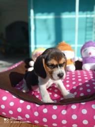 Título do anúncio: Femea Beagle disponivel!!