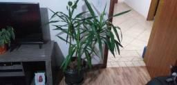 Planta yucca