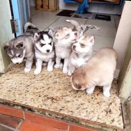 Husky siberiano filhotes