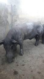 Vende-se porcos caipira R$1.500