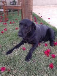 Labrador femea adulta ADOCAO RESPONSÁVEL