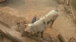 Vendo uma porca com 8 leitão