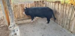 Cachaço ou porco cuiabano