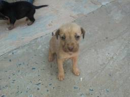 Doação de filhote de cachorros