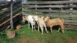 Vende 9 vacas de cria nova