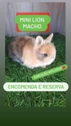 Título do anúncio: Mini Coelho Raças Variadas Filhotes
