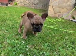 Belos filhotes de Bulldog Francês
