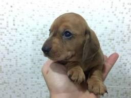 Basset dachshund minis bibelôs pedigree  até 12 x