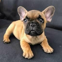 Título do anúncio: Filhote de bulldog francês marrom macho