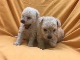 Raça Pura e Porte Pequeno Poodle Filhotes Lindos