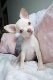 Título do anúncio: Chihuahua P.Curto, fêmeas e machinhos já vacidos, vermifgdos e c tds as gtias em contrato.