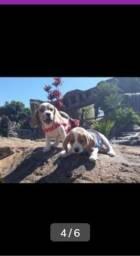 Lindos filhotes da raça beagle