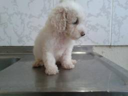 Filhote de poodle toy macho disponível