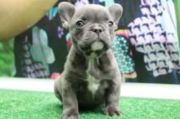 Bulldog Francês Blue Fêmea Exótica