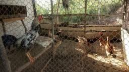 Vende-se galos de raça e galinhas de raça