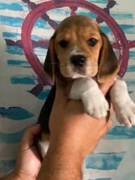 Beagle com 45 dias