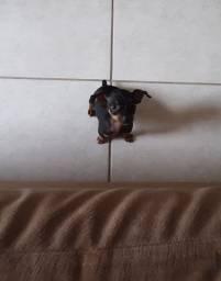 Cachorrinha pinscher