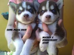 Husky Siberiano : Machos genetica de campeoes olhos azuis