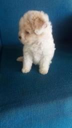 Poodle toy macho disponível