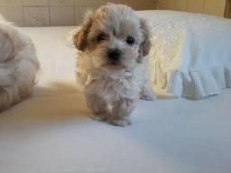 Macho poodle Toy