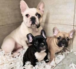 Bulldog francês filhotinhos te esperando