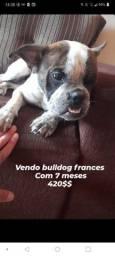 Vendo bulldog frances com 7 meses