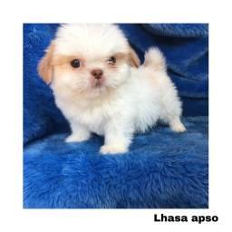 Título do anúncio: Lhasa apso com pedigree e micro chip em até 12x