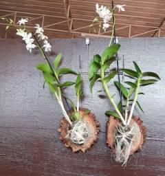 Orquídeas na bolacha de madeira