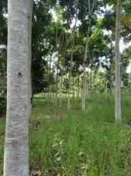 Sítio - Plantado Mogno Africano - Zona da Mata MG