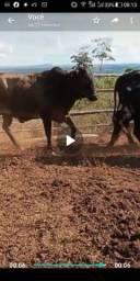 Vacas para abate