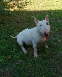 fêmea de Bull Terrier