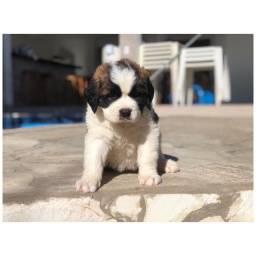 Título do anúncio: São Bernardo com pedigree e micro chip em até 12x