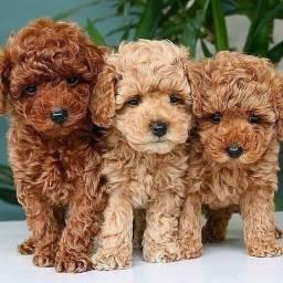 Título do anúncio: Poodle, fêmeas e machinhos já vacinados, vermifugados e com garantias em contrato.