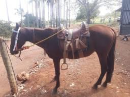 Cavalo Manso Castrado