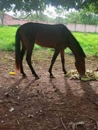 Cavalo inteiro