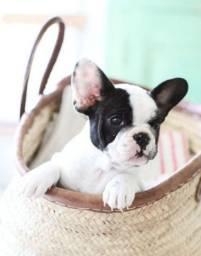 Amores de Bulldog Frances tem na MK DR PET