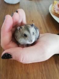 Hamster Chinês filhote