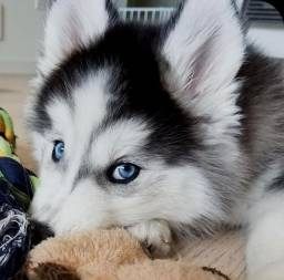 Husky Siberiano Fêmea Filhote! Com Pedigree e Microchip