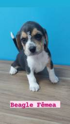 Beagle filhotes super divertidos confira na ESPAÇO VET confira ja