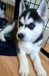 Título do anúncio: Husky Siberiano cinza/marrom/preto e branco, olhos azuis e bi colores a pronta entrega!
